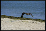 Pacific Gull - In Flight