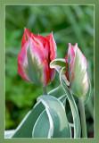 tulp tulip tulipe