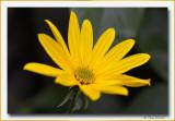 aardpeer - topinamboer (Helianthus tuberosus)
