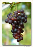 in my greenhouse: the grapes taste delicious this year