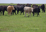 Wild cows wearing jewelry.