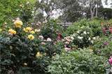 My rose garden, another view