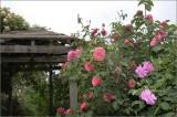 Tea roses and the gazebo