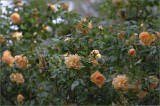 My weeping rose