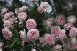 Masses of pink
