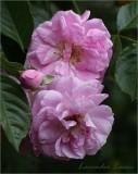 Pretty lavender pink