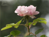 A sweet little moss rose