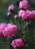 Good rose for a large pot