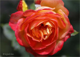 Rose with many names