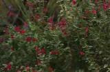 Salvia in summer