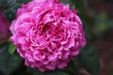 The rose Deane Ross