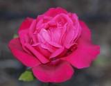 Ekstasy - the rose