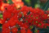 Red flowering gumtree