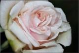 A tough little rose