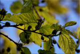 Mulberry tree coming into fruit