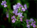 Perennial nemesia