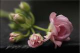 Like a rosebud