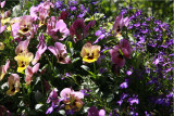 Basketful of spring annuals