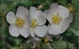 Altaica, Scots rose