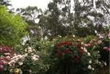 Rose garden in bloom 1
