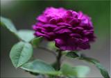 Reine de Violettes