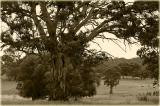 Gumtrees and cattle