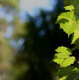Sunlight on the vine