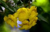 Golden Tecoma