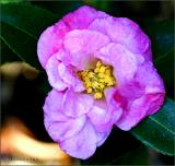 First camellia for 2006