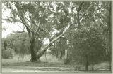 Mallee gum tree