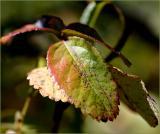 Autumn rose leaves