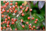Seedling rosehips