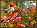 Autumn leaves in the rose garden