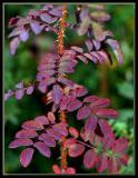 Altaica autumn leaves
