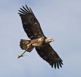 Bald Eagles in December 2008