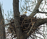 Bald Eagles in January 2009