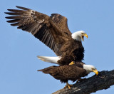 Bald Eagles in February 2009