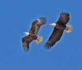 Bald Eagles in March 2009