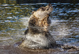 Splish Splash...it was a Grizzly Bath