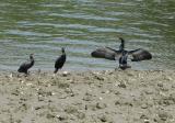 Cormorants by Richmond foot bridge.