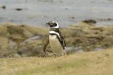 Magellanic penguin on Carcass Island