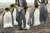 King penguin on Saunders Island