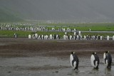 King penguin - Right Whale Bay