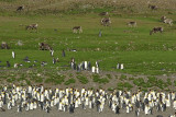 King penguin colony and Reindeer - Fortuna Bay