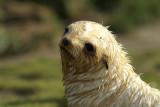 Fur seal - Fortuna Bay
