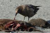 Skua eating fur seal - Fortuna Bay