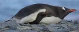 Gentoo penguin - Fortuna Bay