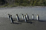 Largest King Penguin Colony - St.Andrews Bay