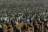 110000 pairs of King penguins - St.Andrews Bay