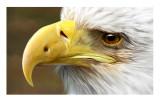 Bald Eagle (Digital Art Academy)